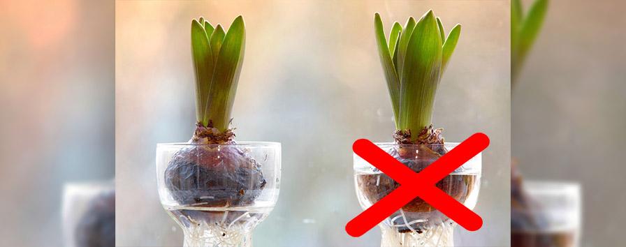 Bulbi In Vaso Di Vetro.Come Far Crescere I Bulbi In Acqua E Senza Terra